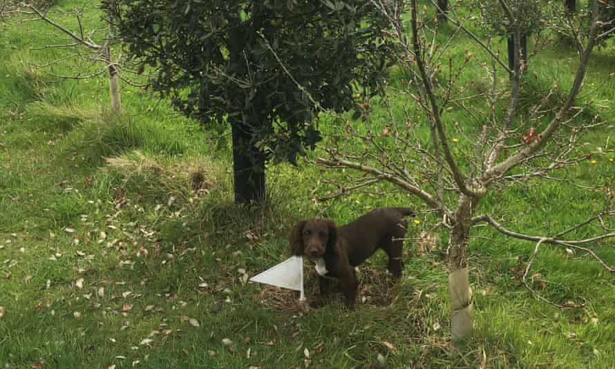 Trained truffle dog Bella who found the truffle.