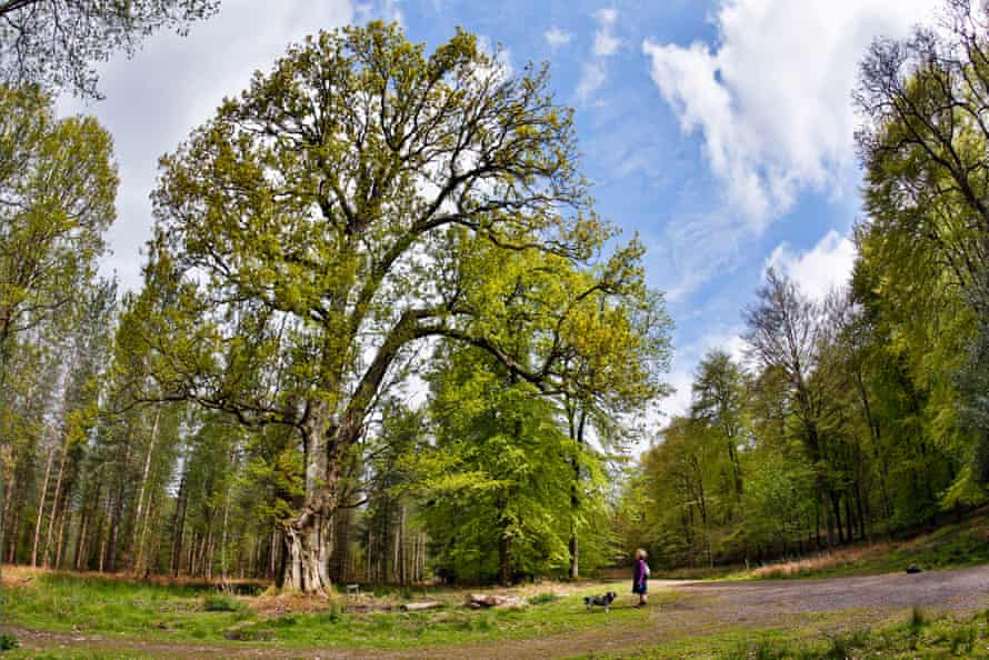 An oak planted in the 17th century in the Forest of Dean