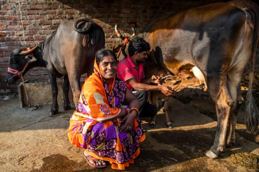 Milking cows in Latur District