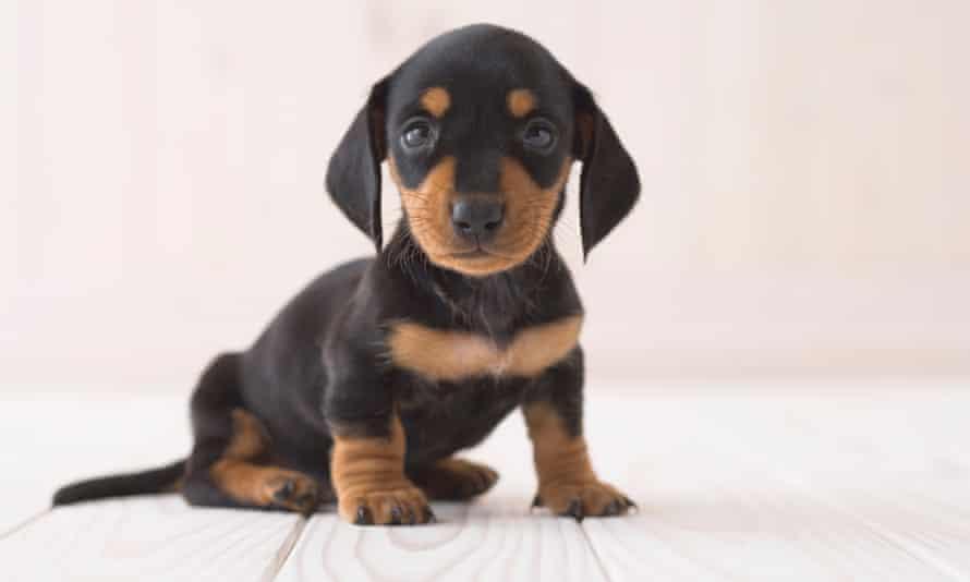 A miniature dachshund