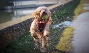 Dog catching a ball in a puddle