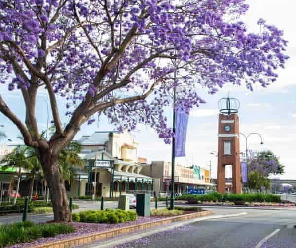 Jacaranda trees in full bloom in the Grafton town centre