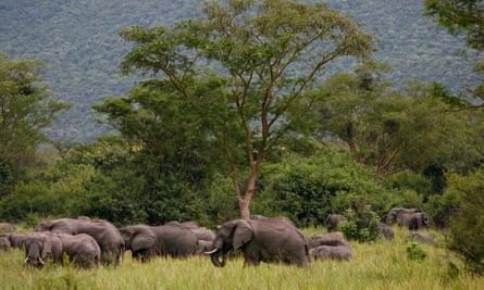 Elephants graze in Virunga national park in eastern Congo.