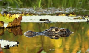 A black caiman snoozing in an ox bow lake beside the Rewa River.