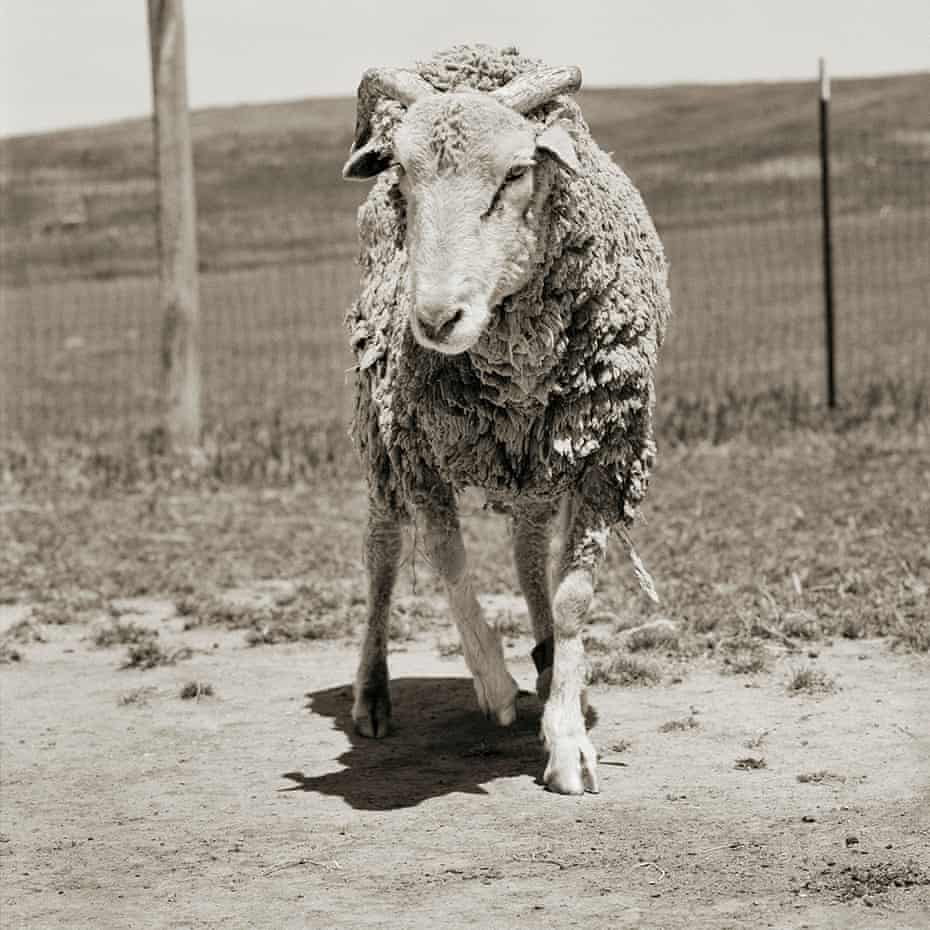Forest, aged 16, was rescued from planned extermination along with her herd on Santa Cruz island off the Californian coast