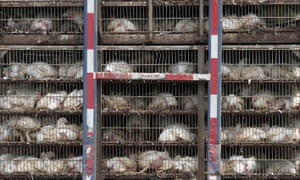 Chickens being transported for processing in the US.