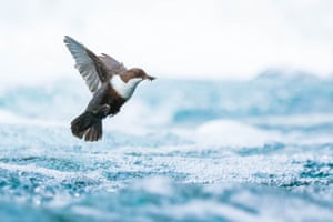 Winner, young photographers 15 to 17 years: Simon Johnson (Norway), Dipper in flight