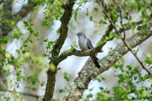 A cuckoo in Thursley, Surrey