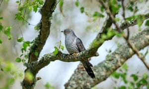 Cuckoo in a tree