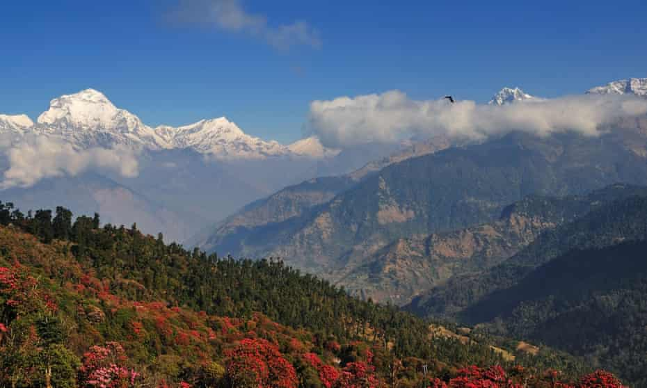 Agony and ecstasy: a view of the south face of Dhaulagiri and blooming rhododendron trees, Annapurna.