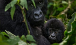 Bageni family in the gorilla sector of Virunga National Park, Bukima, Democratic Republic of Congo.