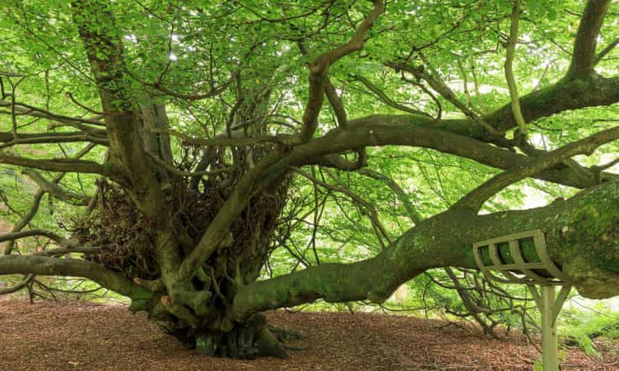 Witches' Broom tree, Abinger Roughs, Surrey