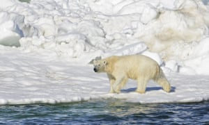 A polar bear dries off after taking a swim in the Chukchi Sea in Alaska. Conservationists say polar bears' 'habitat is melting from beneath their feet'.