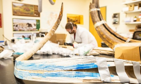 A split mammoth tusk at the stable isotope lab at the University of Alaska