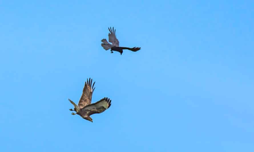 A crow protects its territory and chases away a buzzard.