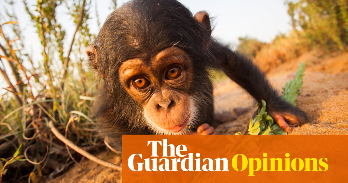Chimps are cute  They're funny  And viral videos can harm them