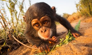 When people view images of a chimpanzee with a human or in human environments, they are more likely to believe that chimpanzees make good pets, which is absolutely untrue.