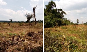 Composite picture of ongoing destruction of Bugoma forest reserve to pave way for sugarcane plantation.