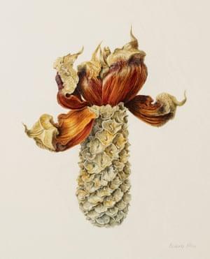 Bunya pine cone by Beverly Allen, watercolour on vellum