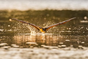 A flying fox swoops low over water