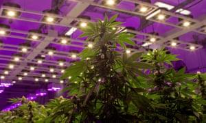 A cannabis aquaponic greenhouse