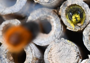 A mason bee deposits its collected pollen in an elderberry stick