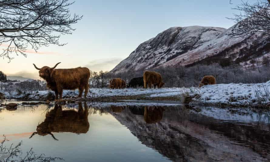A Scottish highland cow - definitely not in Byron Bay.