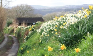 Daffodils in the Tamar Valley