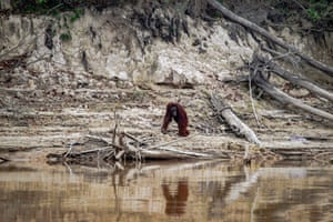 A Borneo orangutan on the river bank at Palangkaraya, as haze from Indonsesia's forest fires blanket the area.