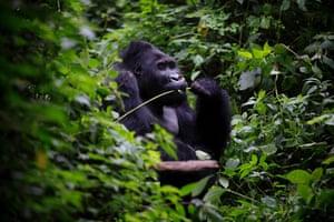 Bonne Année, an eastern lowland gorilla, eats vegetation in the Kahuzi-Biéga park