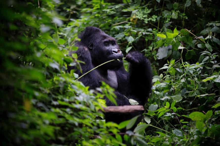 An eastern lowland gorilla