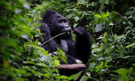 Gorillas, charcoal and the fight for survival in Congo's rainforest