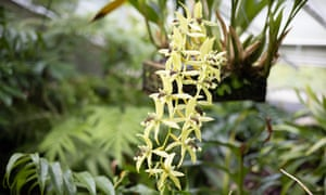 A yellow bunch of orchid flowers hang from their plant.