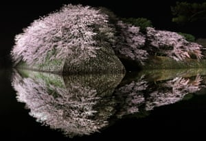 Cherry blossom reflected on the moat of Hikone castle in Shiga, Japan