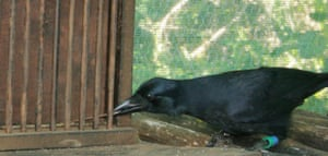 A New Caledonian crow using a one tool to retrieve another, a brilliant example of the intelligence of birds.