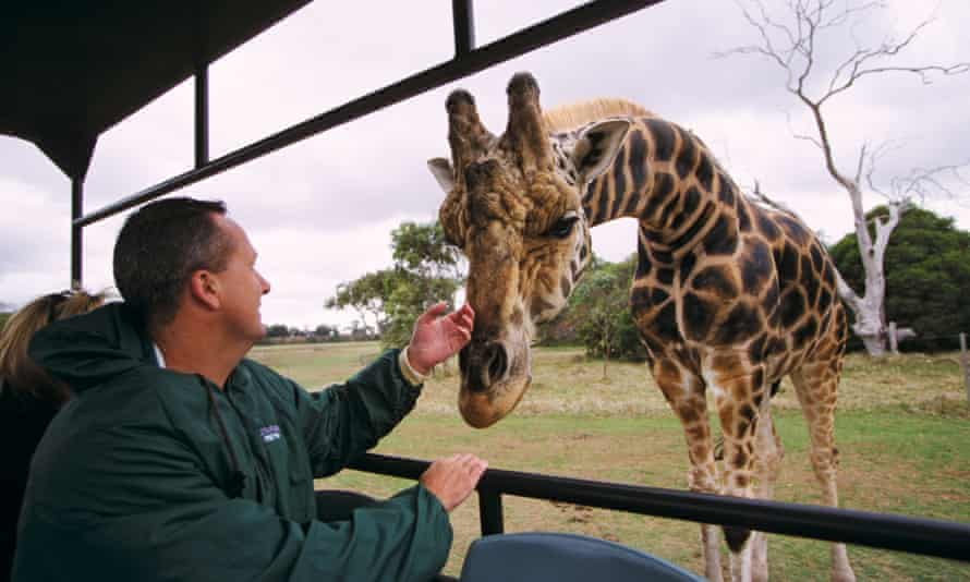 A giraffe greets a visitor in a safari vehicle at Werribee Open Range zoo in Melbourne.
