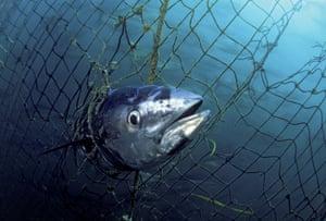 A dead Southern bluefin tuna caught in a tuna pen