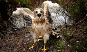 Endangered … a hen harrier on Bowland moor about to be tagged.