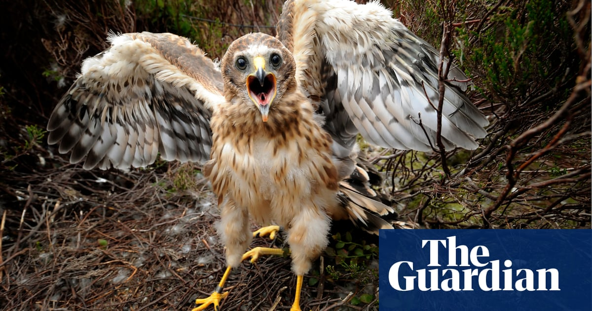 Fledgling success as hen harrier continues to recover in England