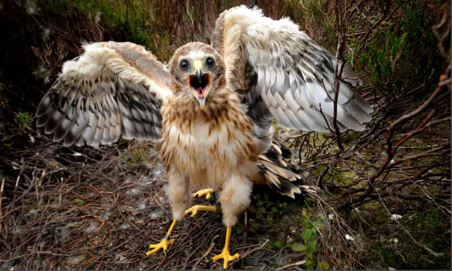 A hen harrier chick on Bowland Moor, Lancashire