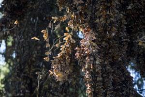 Monarch butterflies at El Rosario Sanctuary, in Ocampo, Michoacan, Mexico