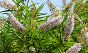If you love willows, but don't have the space for them, Hebe salicifolia is a great option.