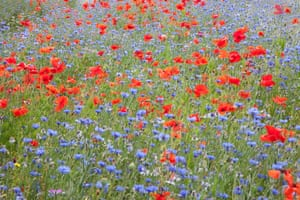 Wildflowers in Wareham, Dorset are part of a trial initiative by the county council to provide an attractive habitat for butterflies and insects, while also helping to cut the costs of roadside mowing.