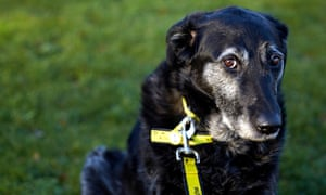 Are dogs and other domestic animals more prone to dementia?