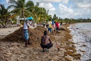 Sargassum seaweed is cleared from the beach in Placencia, Belize