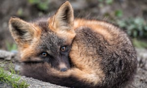 A red fox pup wakes from a nap near its den at the headwaters of the Peel watershed