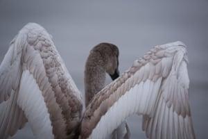 Juvenile mute swan.