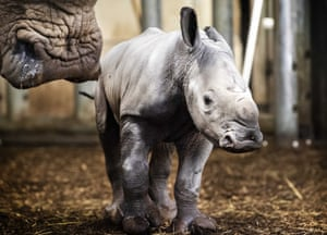 A newborn rhino with its mother at Burgers' Zoo in Arnhem, Netherlands