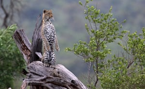 A leopard poses on a tree trunk in Kruger national park, South Africa