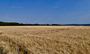 An early crop of wheat blows in the slight morning breeze at Milford on Sea Hampshire.